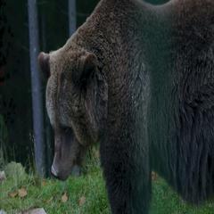 Carpathian Brown Bear Stock Footage