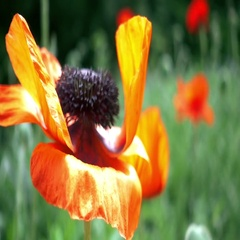 Red poppy flowers Stock Footage