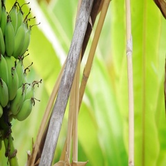 Green Bananas on the tree. Panning Left Stock Footage