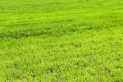 Agriculture. cereals. Spring Stock Photos