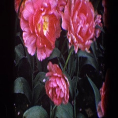 1960: close up of flowers BALTIMORE MARYLAND Stock Footage
