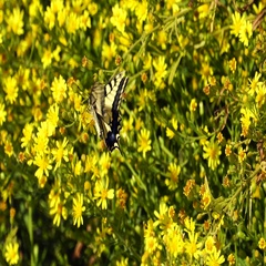 Swallowtail butterfly (Papilio machaon) sitting on yellow flower Stock Footage