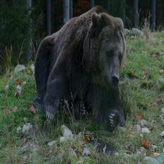 Big brown bear lying on the ground, and then gets up and leaves Stock Footage