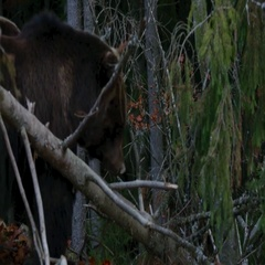 Two large bear walking in the woods Stock Footage