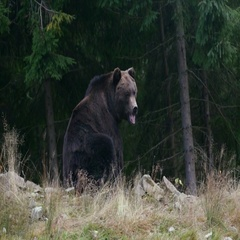 Big brown bear sitting and looking in different directions Stock Footage