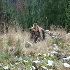 Big brown bear lying on the ground Stock Footage