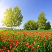 Red poppy field in sunny day. Stock Photos