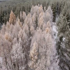 Snow covered trees of larches in coniferous forest. Top view, winter Stock Footage