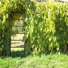 Green gate covered in wine Stock Footage