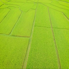 A Hut in rice field plantation. Aerial Backward motion Stock Footage