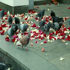 Pigeons on the steps strewn with red rose petals Stock Footage
