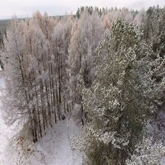 Back flight over snowy tops of pines and larches in winter forest. Karelia, Rus Stock Footage