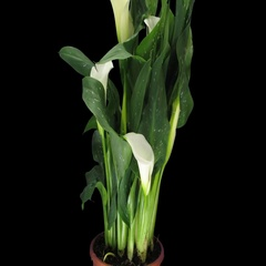 Time-lapse of growing calla plant with ALPHA channel Stock Footage