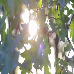 Oak leaves with acorns in the sun Stock Footage