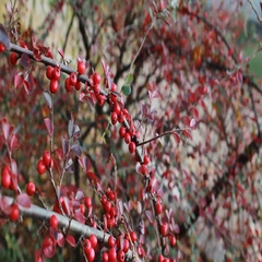 Shrub with fiery red berries in autumn Stock Footage