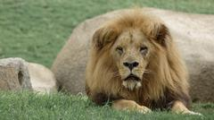 Closeup of old male lion over grass Stock Photos