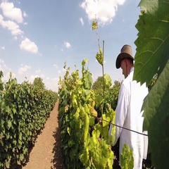 Aradac, SERBIA- Grape Harvest Stock Footage