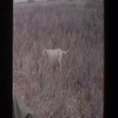 1956: a dog with a long pointed tail standing still LUBBOCK TEXAS Stock Footage