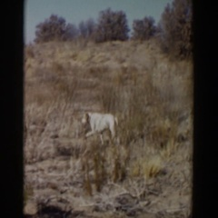 1957: happy dog walking through dry, brushy field LUBBOCK TEXAS Stock Footage