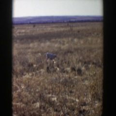 1957: lonely viewing of a dog just standing in the desert. LUBBOCK TEXAS Stock Footage