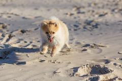 Cute puppy German Spitz running on the beach. Selective focus Stock Photos