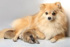 Mom spitz with her newborn puppies Stock Photos