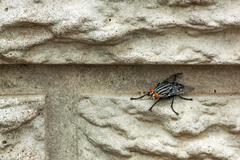 Housefly insect perched on concrete  wall Stock Photos
