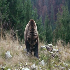 Big brown bear lies on the ground Stock Footage