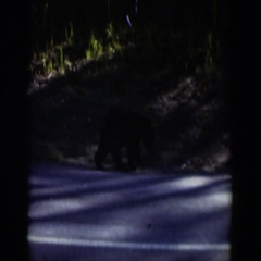 1951: a large black bear sniffs the ground as it walks down the road WYOMING Stock Footage