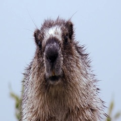 Marmot in the Mist Hoary Marmot CU Portrait HD Stock Footage
