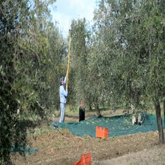 Local farmers harvest olives in the Pienza, Tuscany, Italy, Europe. Stock Footage