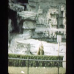 1948: bear sitting and observing in a caged area with rocky background Stock Footage