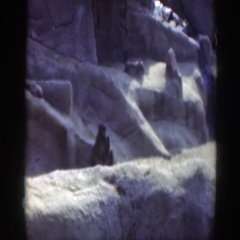 1948: a monkey at a zoo eats, walks and chatters WASHINGTON DC Stock Footage