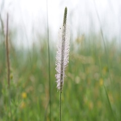 Hoary plantain flower in a meadow Stock Footage
