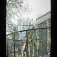1949: giraffes walking around in a confined area. CINCINNATTI OHIO Stock Footage