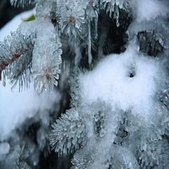 Ice-covered branch of blue spruce Stock Footage