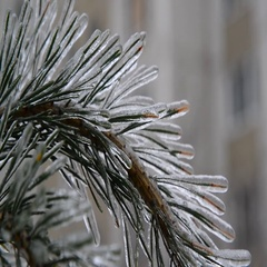 Pine needles is icy after rain in winter Stock Footage