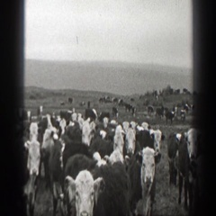 1939: herd of jersey cows grazing on a hill. MONTANA Stock Footage
