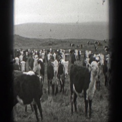 1939: hereford cattle herd together on a grassy, mountain pasture MONTANA Stock Footage