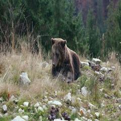 Big brown bear lies on the ground Stock Footage