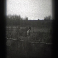 1939: cows walking around outside. MONTANA Stock Footage