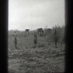 1939: men on horses herding the cattle throughout the field. MONTANA Stock Footage