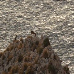 Goat young male males eating at sunset near the sea Stock Footage