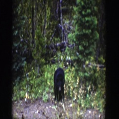 1939: a small black bear searching for food in the bushes WYOMING Stock Footage