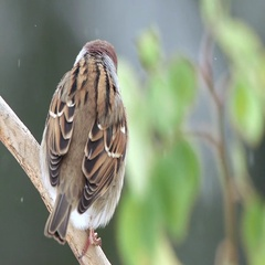 Tree sparrow bird perched on branch dorsal view fly away Stock Footage