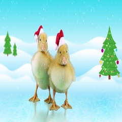 Two Funny little ducklings in Santa Claus hats, opens beak (yawning) Stock Footage