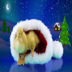 Funny Christmas two newborn little yellow ducklings relaxing in the Santa hat Stock Footage