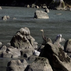 Blue Heron and Gulls at River Stock Footage