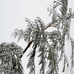 Fir needles is icy after rain in winter Stock Footage