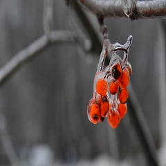 Sprig of rowan with berries is covered by ice Stock Footage